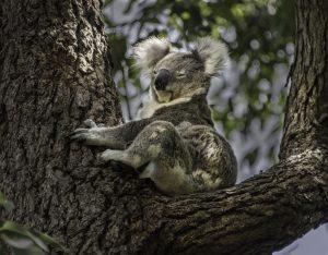 koala edit